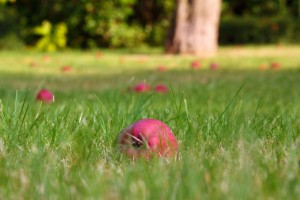 fallen-apples-in-grass-112940814212gp